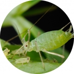 pea aphid